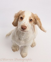 Orange-and-white Cocker Spaniel sitting looking up