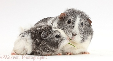 Mother Guinea pig and baby sharing a blade of grass