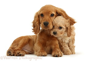 Cocker Spaniel puppy with Cavapoo puppy
