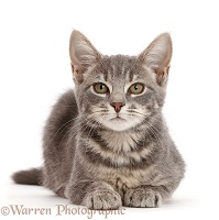 Grey tabby kitten sitting lying with head up