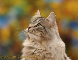 Silver tabby cat  profile portrait