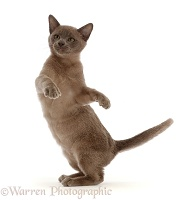 Burmese kitten, dancing