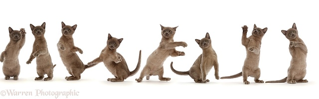 Burmese kitten, dancing sequence