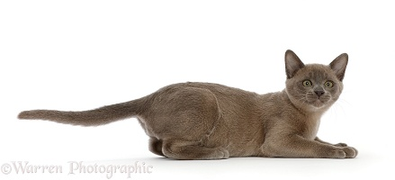 Burmese kitten, lying head up