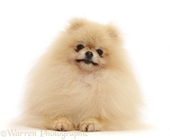 Cream Pomerainian dog