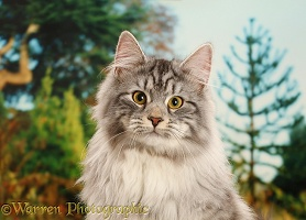 Silver tabby cat portrait