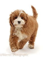Cavapoo puppy running