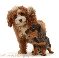 Cavapoo puppy waving past Dachshund puppy
