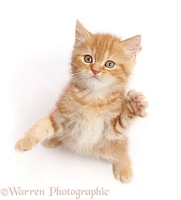 Sweet little ginger kitten reaching up a paw