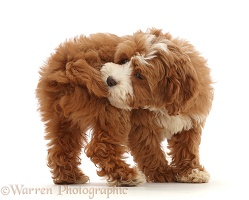 Cavapoo puppy catching her own tail