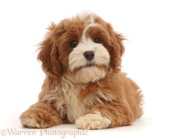 Cavapoo puppy lying head up