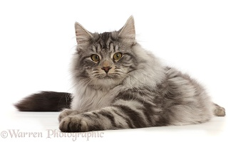 Silver tabby cat lying with head up