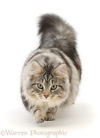 Silver tabby cat prowling