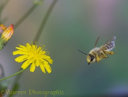 Hairy-legged Mining Bee collecting pollen