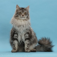 Silver tabby cat sitting on blue background