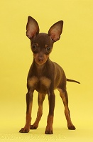 Brown-and-tan Miniature Pinscher puppy, standing on yellow