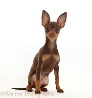 Brown-and-tan Miniature Pinscher puppy, sitting