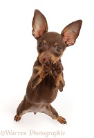Brown-and-tan Miniature Pinscher puppy, standing on hind legs