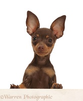 Brown-and-tan Miniature Pinscher puppy, paws over