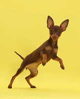 Brown-and-tan Miniature Pinscher puppy, jumping on yellow