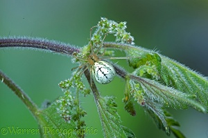 Comb-footed spider female on nettle