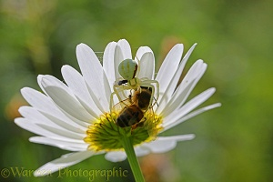 Crab spider feeding on captured honey bee