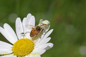 Crab spider capturing honey bee