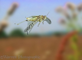Migratory locust in flight