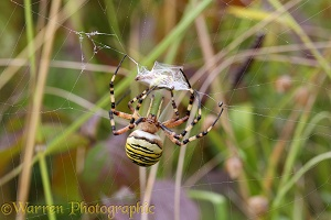Wasp spider binding grasshopper prey