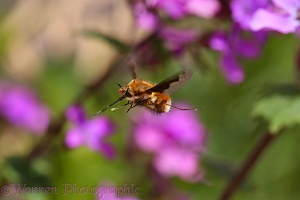 Bee fly approaching Honesty flowers