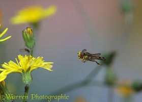 Hoverfly approaching Smooth Hawksbeard flower