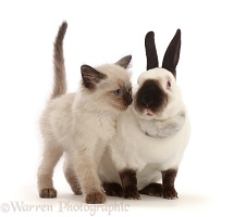 Ragdoll x Siamese kitten snuggling up to colourpoint rabbit