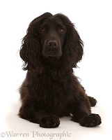 Black Cocker Spaniel dog