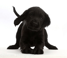 Playful Black Cocker Spaniel puppy