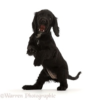 Black Cocker Spaniel puppy standing up on hind legs