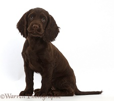 Chocolate Cocker Spaniel puppy