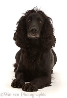 Black Cocker Spaniel bitch