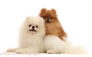 White and Tan Pomeranians