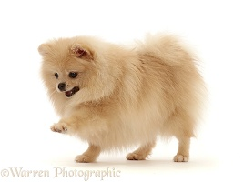 Cream Pomeranian pawing