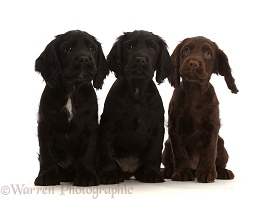 Three Cocker Spaniel puppies