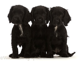 Three Black Cocker Spaniel puppies