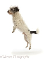 Grey-and-white Jackapoo scruffy mutt leaping