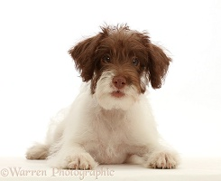 Brown-and-white scruffy mutt