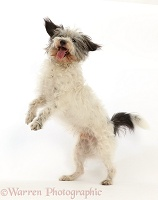 Grey-and-white Jackapoo scruffy mutt jumping up