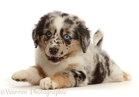 Mini American Shepherd puppy with raised paw