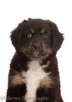 Black tricolour Mini American Shepherd puppy