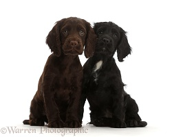 Black and Chocolate Cocker Spaniel puppies