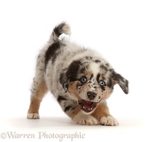 Playful Mini American Shepherd puppy with raised paw