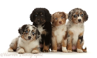 Four merle Mini American Shepherd puppies