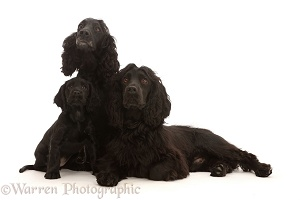Adult black Cocker Spaniel pair with puppy